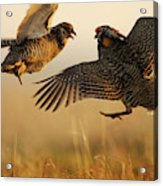 A Pair Of Prairie Chickens Face Acrylic Print