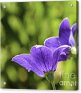 A Pair Of Purple Balloon Flowers Acrylic Print