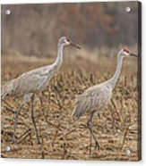 A Pair Of Sandhill Cranes 2014-1 Acrylic Print