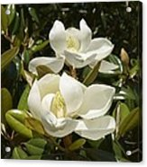 A Pair Of Southern Magnolia Blossoms Acrylic Print