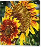 A Pair Of Sunflowers No.1 Acrylic Print
