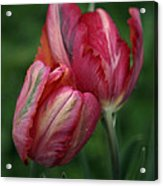 A Pair Of Tulips In The Rain Acrylic Print