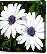 A Pair Of White African Daisies Acrylic Print