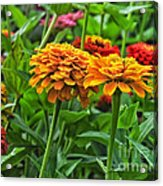 A Pair Of Yellow Zinnias 03 Acrylic Print