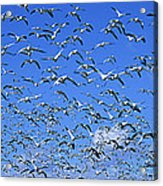 A Panoramic Of Thousands Of Migrating Acrylic Print