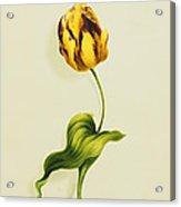 A Parrot Tulip Acrylic Print