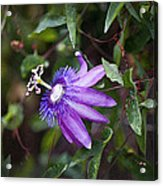A Passion For Flowers Db Acrylic Print