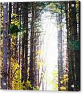 A Path In The Pines Acrylic Print