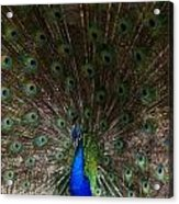 A Peacock's Feathers Acrylic Print