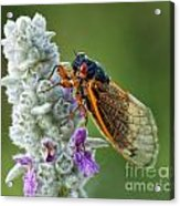 A Perfect Model Acrylic Print