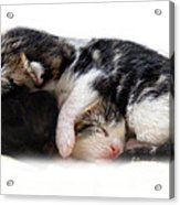 A Pile Of Pussies Acrylic Print