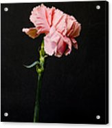 A Pink Carnation Acrylic Print