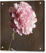 A Pink Carnation Acrylic Print