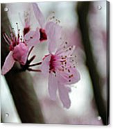 A Pink Flowering Tree Flower Acrylic Print