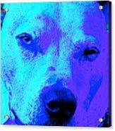 A Pit Bull's Love Is Forever// End Dog Fighting Acrylic Print by Q's House of Art ArtandFinePhotography
