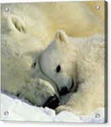 A Polar Bear And Her Cub Napping Acrylic Print
