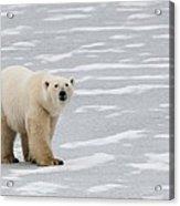 A Polar Bear On Hudson Bay Acrylic Print