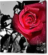 A Pop Of Red - Rose  Acrylic Print
