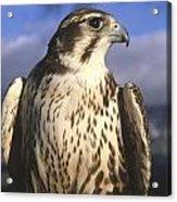 A Prairie Falcon At Dusk Acrylic Print