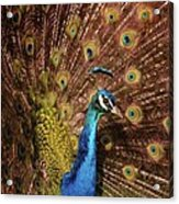 A Preening Peacock  Acrylic Print