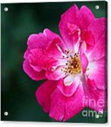 A Pretty Pink Rose Acrylic Print