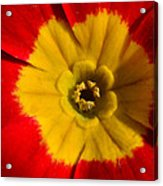 A Prim Rose Acrylic Print