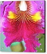 A Purple Cattelaya  Orchid Acrylic Print