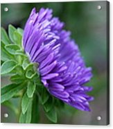 A Touch Of Violet   Acrylic Print