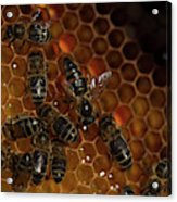 A Queen Bee Walks In The Center Acrylic Print