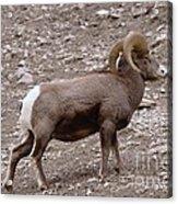 A Ram Climbing  Acrylic Print