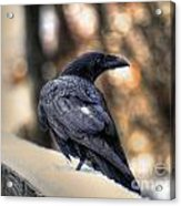 A Raven In Winter Acrylic Print by Skye Ryan-Evans