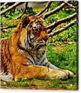 A Real Detroit Tiger Acrylic Print
