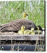 A Real Mother Goose Acrylic Print
