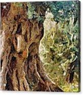 A Really Old Olive Tree Acrylic Print