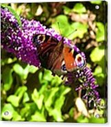 A Red Admiral On A Purple Budlier Acrylic Print