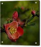 A Red Flower Acrylic Print