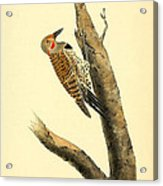 A Red Moustached Woodpecker Acrylic Print by Philip Ralley