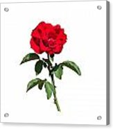 A Red Rose On White Acrylic Print