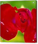 A Red Wet Rose Acrylic Print