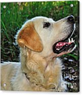 A Retriever's Loving Glance Acrylic Print