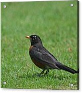 A Robin In June Acrylic Print