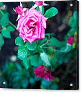 A Rose Blooms Acrylic Print