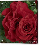A Rose Within A Rose Acrylic Print