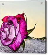 A Rose In Winter Acrylic Print