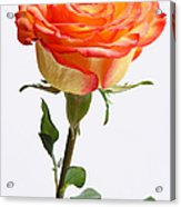 A Rose Is A Rose Is A Rose Acrylic Print by Juergen Roth