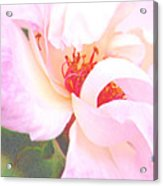 A Rose Unfurls Acrylic Print