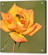 A Rosy View Acrylic Print