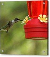 A Ruby-throated Hummingbird Acrylic Print