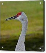 A Sandhill Crane Acrylic Print
