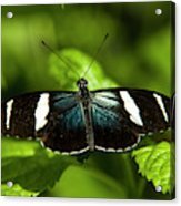 A Sara Longwing Butterfly Heliconius Acrylic Print